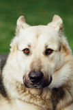 Portrait of dog face, green background Royalty Free Stock Image