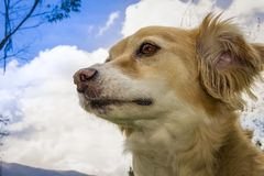 Beautiful mongrel dog yellow with white royalty free stock image