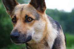 Portrait of a dog on a forest background stock photo