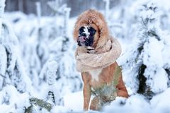 Portrait of dog in fur hat against background of trees. Royalty Free Stock Photo