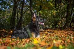 Portrait of a dog German Shepherd Royalty Free Stock Photos
