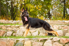 Portrait of a dog German Shepherd Royalty Free Stock Images