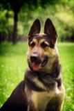Portrait of dog German shepherd royalty free stock photos