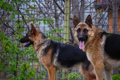 Portrait of Dog Germna Sheperd Stock Photos