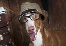 Portrait of dog with glasses and hat Royalty Free Stock Photos