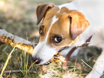Portrait of a dog gnawing a branch of a tree. Jack Russell Terrier dog playing with wooden stick Dog looking at camera. Portrait of a dog gnawing a branch of a Royalty Free Stock Photo