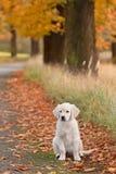 Portrait dog - golden retriever Stock Photos