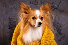 Dog in a cozy sweater, close-up