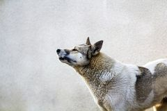 Portrait of a dog on grey background royalty free stock image