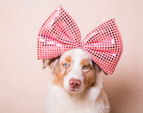 Portrait of dog with a huge pink bow on her head. Portrait of Australian Shepherd with a huge pink bow on her head Royalty Free Stock Image