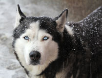 Portrait of dog husky Royalty Free Stock Images