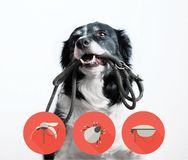 Portrait of a dog with icons of parazites around its head. Border Collie with Leash in Mouth stock photography