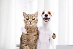 Portrait of a dog and cat hugging each other. Portrait of a dog Jack Russell Terrier and cat Scottish Straight hugging each other royalty free stock image