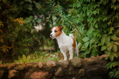 Portrait of a dog. Jack Russell Terrier Royalty Free Stock Photography