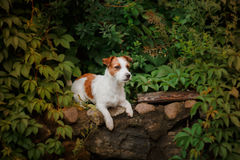 Portrait of a dog. Jack Russell Terrier Stock Photography