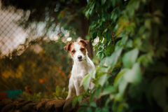 Portrait of a dog. Jack Russell Terrier Stock Image