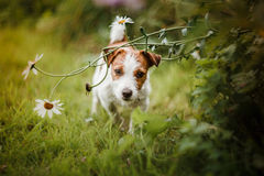 Portrait of a dog. Jack Russell Terrier Royalty Free Stock Photo