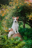 Portrait of a dog. Jack Russell Terrier Royalty Free Stock Images