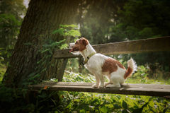 Portrait of a dog. Jack Russell Terrier Stock Photos