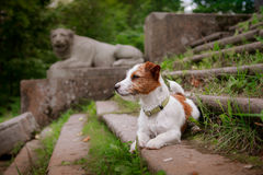 Portrait of a dog. Jack Russell Terrier Royalty Free Stock Image