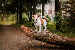 Portrait of a dog. Jack Russell Terrier Stock Photo