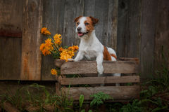 Portrait of a dog. Jack Russell Terrier Stock Images