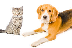 Portrait  dog and kitten Stock Photo