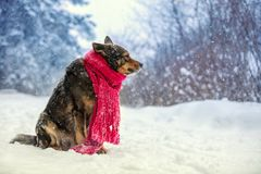 Portrait of a dog with knitted scarf stock photos