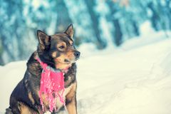 Dog with knitted scarf tied around the neck stock photography