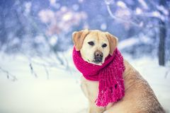 Portrait of a dog with knitted scarf tied around the neck walkin royalty free stock images