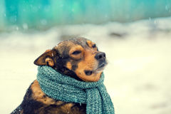 Portrait of a dog with knitted scarf Royalty Free Stock Images