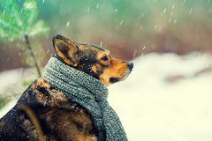 Portrait of a dog with knitted scarf Stock Photography