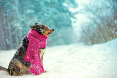 Portrait of a dog with knitted scarf tied around the neck stock photography