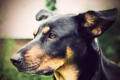 Portrait of a dog Royalty Free Stock Photo
