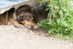 Portrait of the dog lying in the doghouse Stock Photo