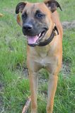 Portrait of a dog (Mix breed: Boxer/German Shepherd) Stock Images