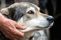Portrait of a dog mongrel. With the hand of the owner. Friendship between dog and man Stock Photography