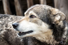 Portrait of a dog mongrel. The dog looks away Royalty Free Stock Photography