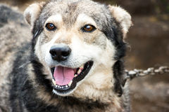 Portrait of a dog mongrel. The dog looks into the camera Royalty Free Stock Image