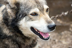 Portrait of a dog mongrel. A dog with an open mouth Stock Images