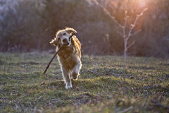 Portrait of a dog in outdoor, golden. Dog bringing a stick in outside Royalty Free Stock Images