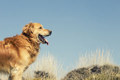 Portrait of a dog in outdoor, golden. Dog in a field enjoying the sun Stock Image