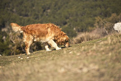 Portrait of a dog in outdoor, golden. Dog looking for a trail Stock Photo