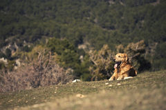 Portrait of a dog in outdoor, golden. Dog lying in a field enjoying the sun Royalty Free Stock Images