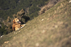 Portrait of a dog in outdoor, golden. Dog lying in a field enjoying the sun Stock Photo