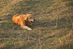 Portrait of a dog in outdoor, golden. Dog lying in the sun in a park Stock Image