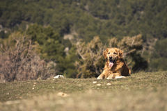 Portrait of a dog in outdoor, golden. Dog lying in the sun in a park Royalty Free Stock Photo