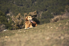 Portrait of a dog in outdoor, golden. Dog lying in the sun in a park Royalty Free Stock Image