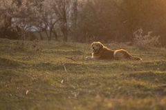 Portrait of a dog in outdoor, golden. Golden retriever lying on the grass Royalty Free Stock Images