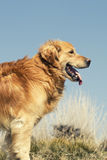 Portrait of a dog in outdoor, golden. Golden retriever outdoors with blue sky Stock Photo